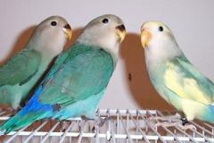 lovebird-babies-blueblue-pied
