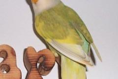 lovebird-sg-silver-pied