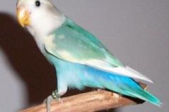 lovebird-wf-sf-violet-pied-4
