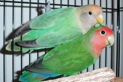 opaline-blue-opal-x-green-split-opal