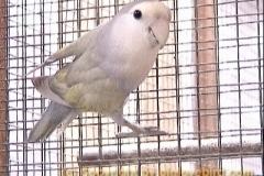 whitefacesilverviolet